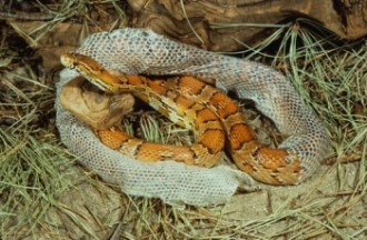 Red Rat or Corn Snake shedding skin (Elaphe guttata)