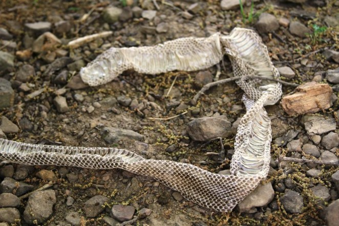 snake skin2