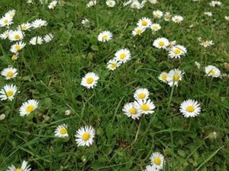 daisy chain flowers